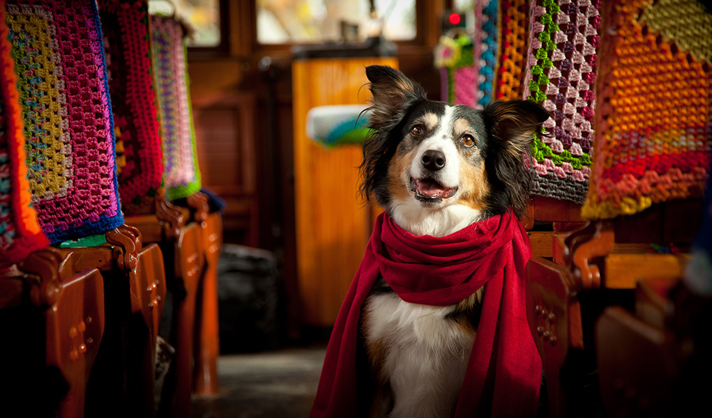 A black and white Border Collie dog sitting on a tram wearing a scarf