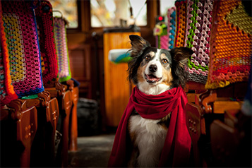 Border Collie Dog sitting on a Vintage Talking Tram wearing a scarf